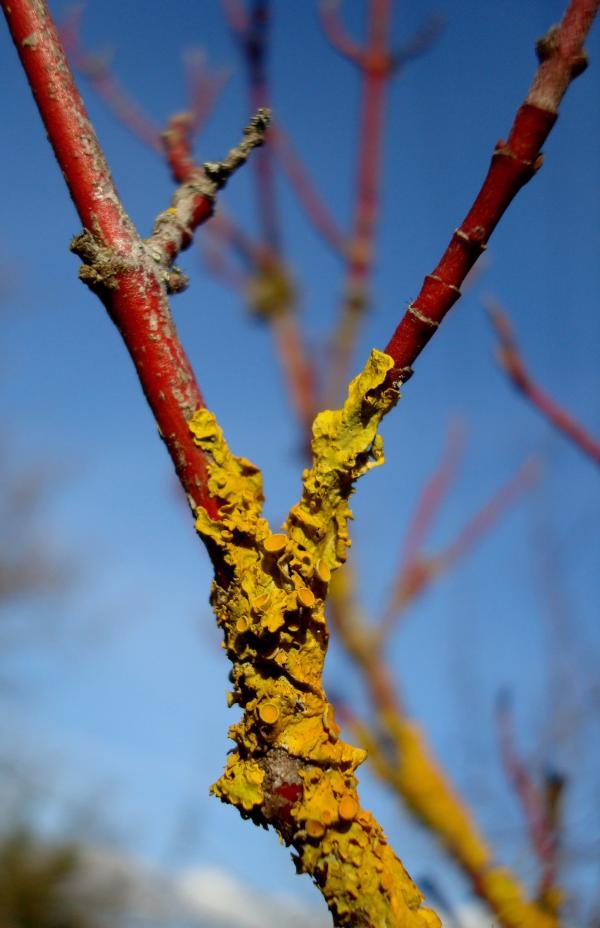 Bois rouge et lichen jaune