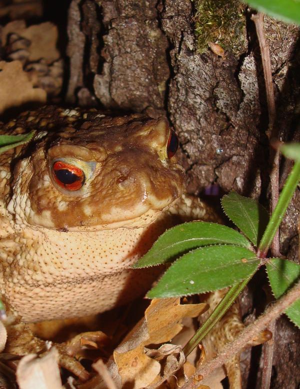 Crapaud commun femelle - Bufo bufo