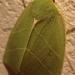 Halias du chêne