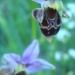 Orchis bécasse