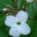 Cardamine à sept feuilles, dentaire pennée