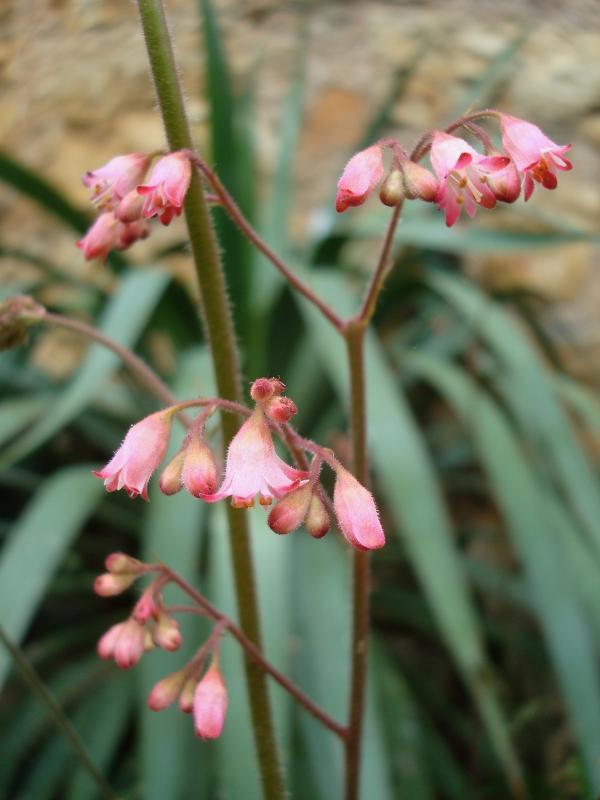 Heuchère bouquet rose