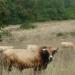 Vaches près de Lugagnac