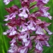 Orchis militaris hybride purpurea