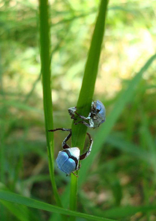 Hoplies bleus