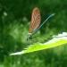 Jeune mâle Caloptéryx vierge