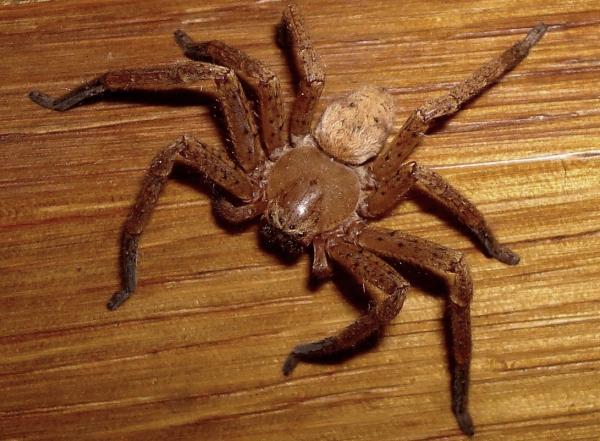 Araignée agroeca (Clubionidae)