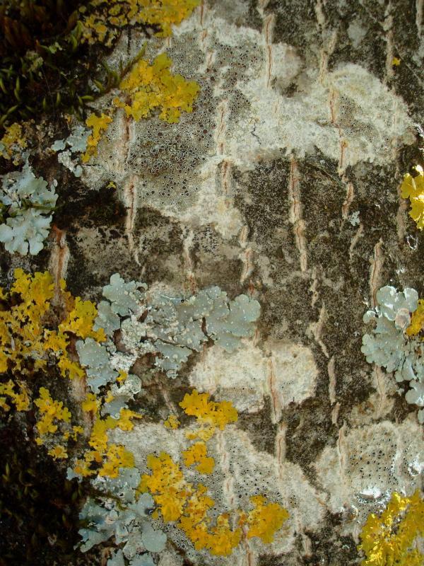 Tableau de lichens