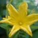 Fleur de concombre lemon