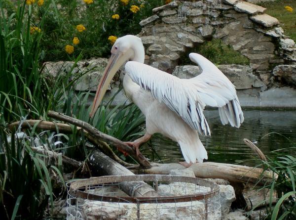 Pélican - Parc animalier de Gramat
