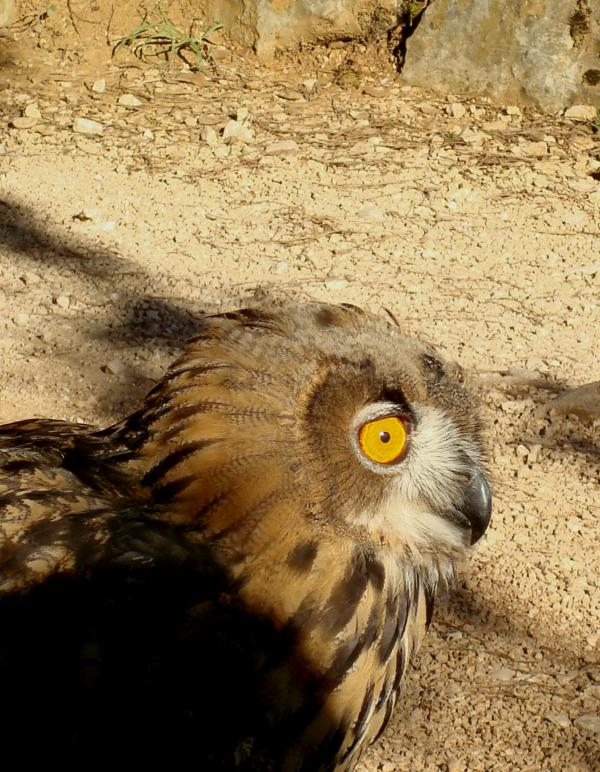 Hibou - Rocher des Aigles - Rocamadour
