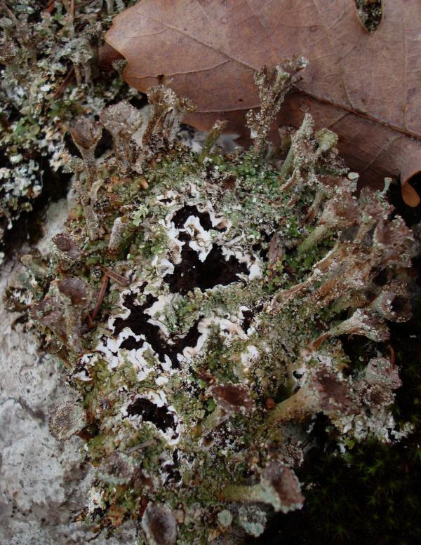 Lichen cladonia chlorophaea