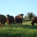 Bonnes vaches sur le causse de Théminettes