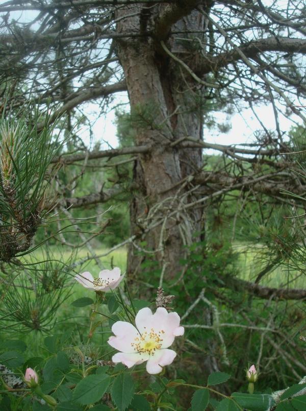 Fleurs d'églantine