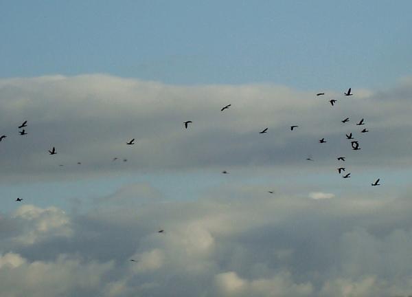 Comme une volée d'oiseaux noirs