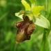 Ophrys araignée