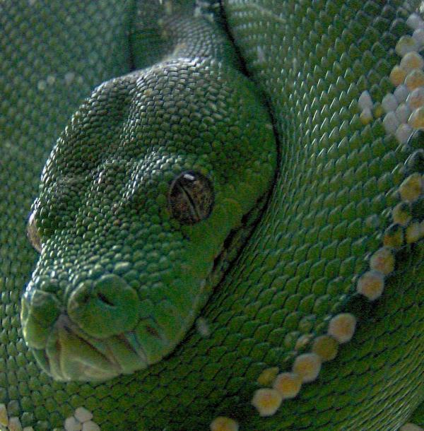 Python vert arboricole