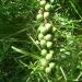 Asphodèle - fruits