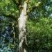 Frêne, arbre de vie