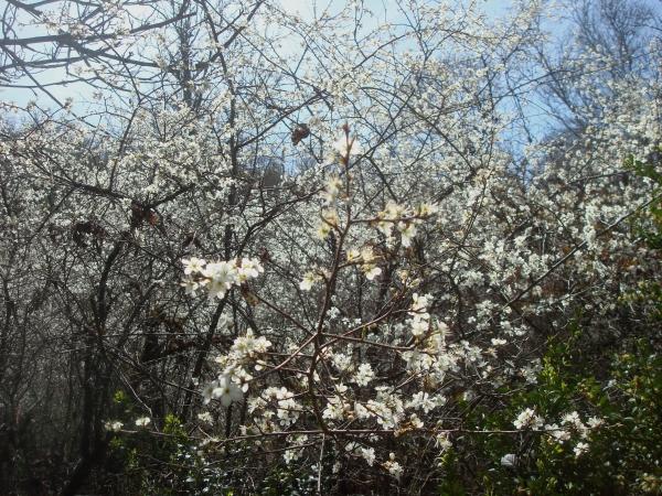 Prunelliers en fleurs